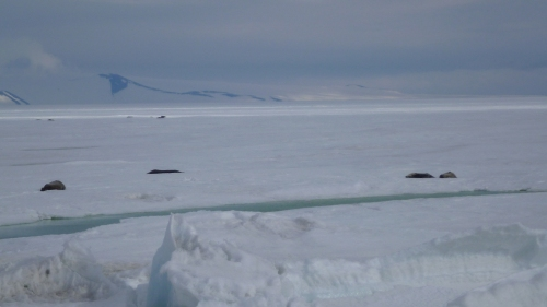 Real seals just outside Scott Base